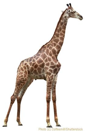 Homeschooling and the Average Giraffe