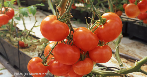 Grow and Harvest Delicious Tomatoes
