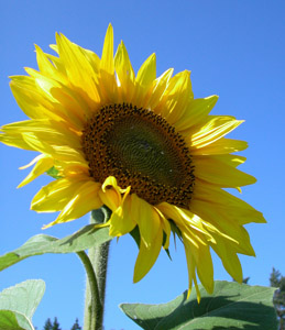 How to Grow Stupendous Sunflowers