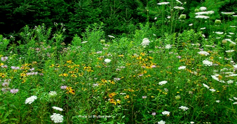Grow Native! Ins and Outs of Planting and Maintaing a Wildflower Garden